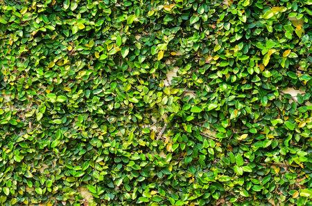 encroach: green leaves wall
