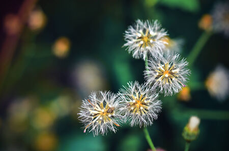 alergy: Dandelion seeds
