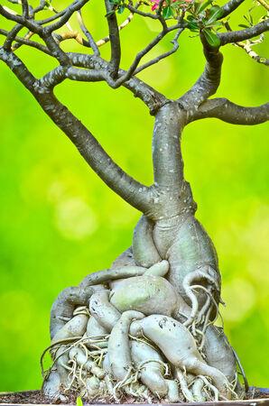 adenium: Root of Adenium obesum tree