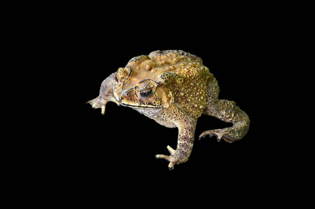 Common Toad on black background photo