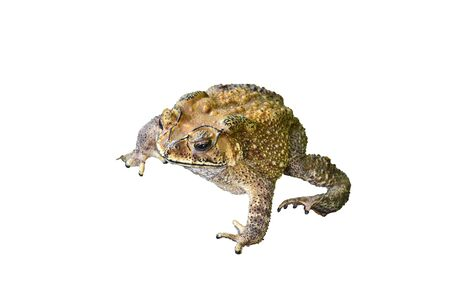 Common Toad on white background photo