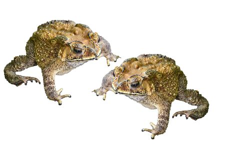 Common Toad photo