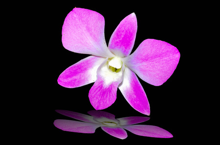 Deep Pink Orchids on black background