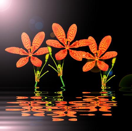 iridaceae: Black Berry Lily on black background