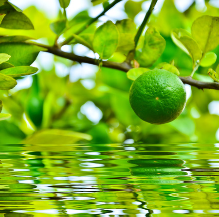 Green lime on a branch with reflect in water Stock Photo