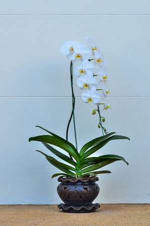 White  Phalaenopsis in pot photo