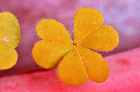 Beautiful yellow leaves of Water clover