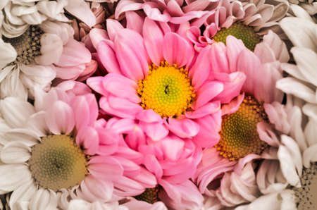 two tone: Chrysanthemums in two tone Stock Photo