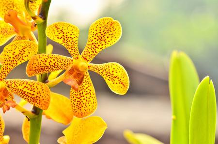 epiphytic: Vanda Orchid