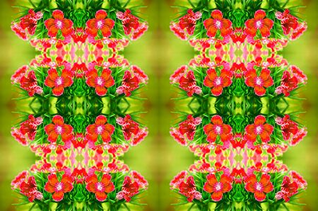 Red Dianthus blooming background