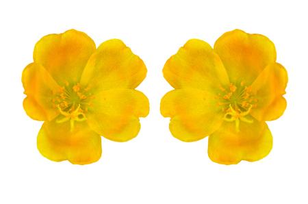 Portulaca oleracea flower on white background Stock Photo