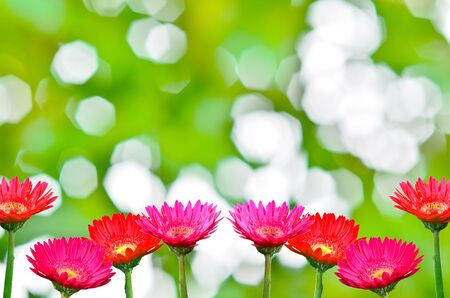 daisy: gerbera daisies on nature background Stock Photo