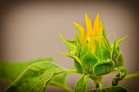 budding: Budding Sunflower in vintage light