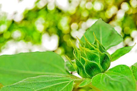 budding: Budding Sunflower on nature background Stock Photo