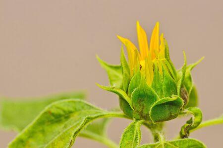 budding: Budding Sunflower