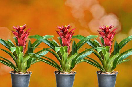 guzmania: Blossoming plant of guzmania in plastic flowerpot on orange nature background Stock Photo