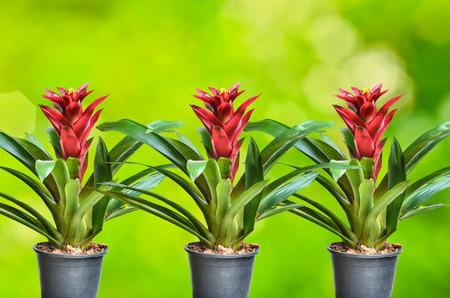 guzmania: Blossoming plant of guzmania in plastic flowerpot on nature background