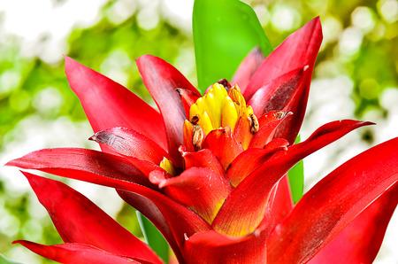 guzmania: Close up guzmania on sunny abstract background Stock Photo