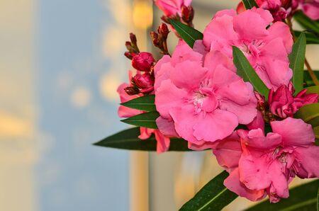 oleander: Beautyfull Sweet Oleander flower on tree Stock Photo