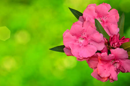 Beautyfull Sweet Oleander flower on sunny abstract background Stock Photo