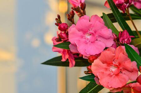 oleander: Sweet Oleander flower on tree