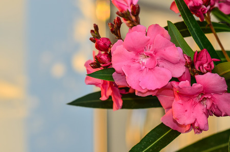 Sweet Oleander flower Stock Photo