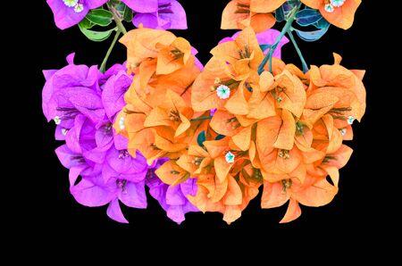 color bougainvillea: Muti color Flowering bougainvillea on black background