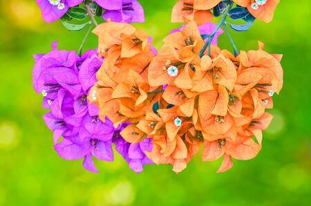 color bougainvillea: Muti color Flowering bougainvillea on sunny abstract  background