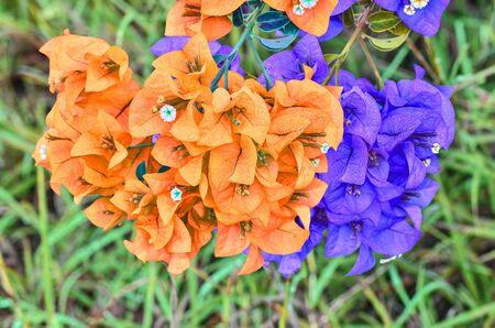 color bougainvillea: Muti color Flowering bougainvillea on green grass