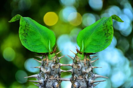 poi: Two top Poi Sian flowers on green nature background Stock Photo