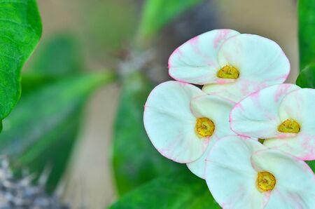 poi: Muti white  Poi Sian flowers