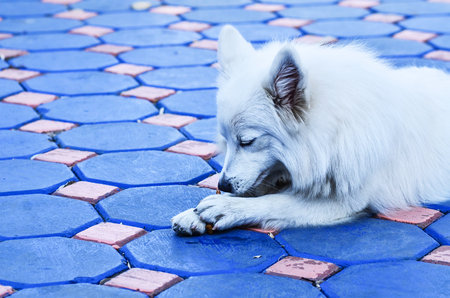 medium body: Dog Spitz play in house Stock Photo