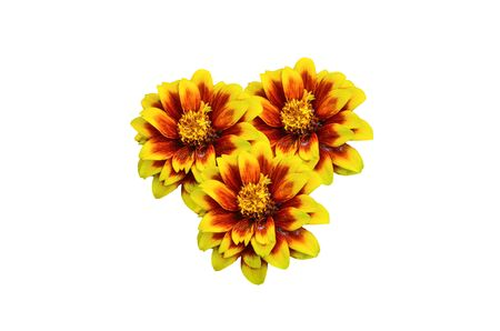 mexicana: Group Mexican Zinnia isolate on white background Stock Photo
