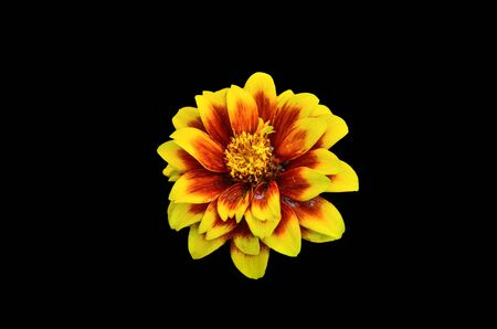 mexicana: Beautifull Mexican Zinnia isolate on black background