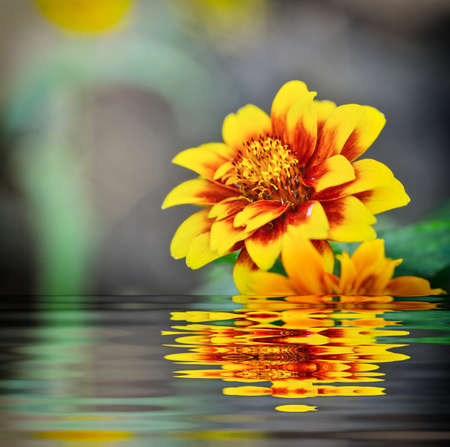 mexicana: Zinnia Mexicana flower and reflect in water