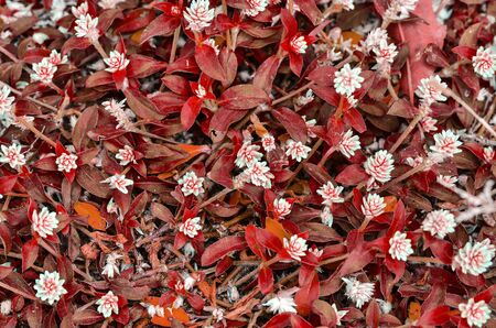 red grass: red grass with small white flowers background