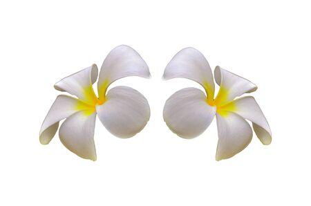 Beautiful Evergreen Frangipani flower on white background