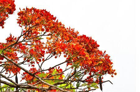 flamboyant: peacock flower on white background Stock Photo