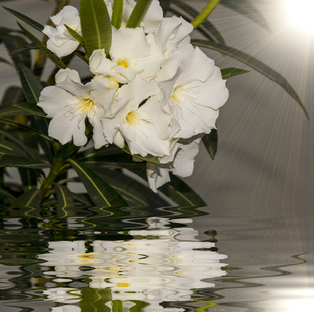 Detail of White Oleander Flowers in full bloom and reflect Stock Photo