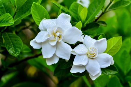 Gardenia jasminoides blooming in garden