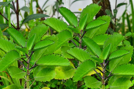 Bryophyllum pinnatum on garden