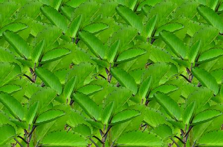 close up Beautiful Bryophyllum pinnatum background