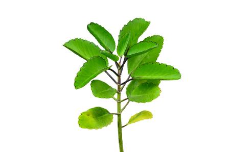 Bryophyllum pinnatum on white background