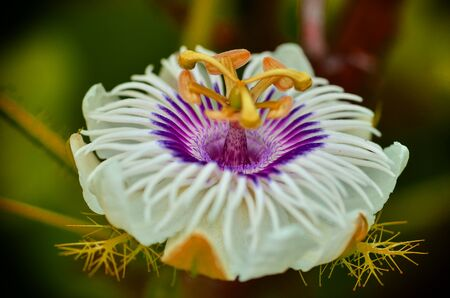 passionflower: Close up Fetid passionflower focus violet color Stock Photo