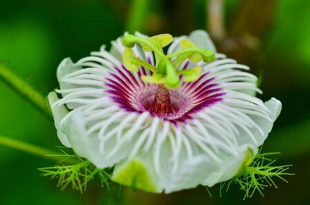 Close up Fetid passionflower focus pink color