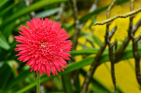 gerbera daisy: Gerbera Daisy after rain with water in garden