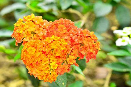 lantana: Beautiful Lantana camara blooming in garden