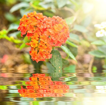 lantana camara: Lantana camara blooming in garden with reflect  Stock Photo