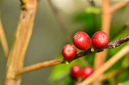 kona: fresh Coffee cherries on branch Stock Photo