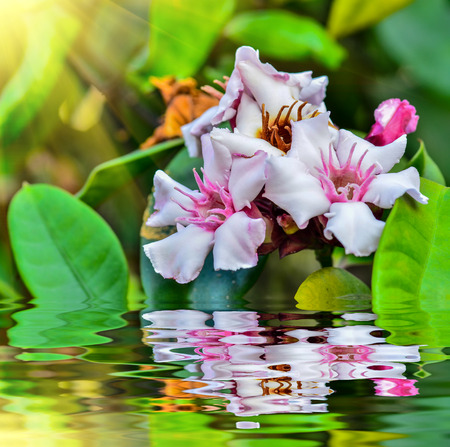 Beautiful Allamanda flower blooming with reflect in water Stock Photo